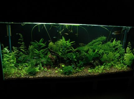58 gallons planted tank (mostly live plants and fish) - This picture is taken at 6 weeks after tank setup.