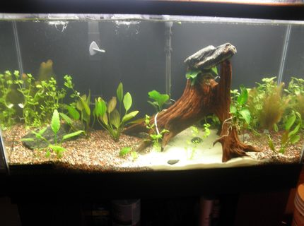 38 gallons planted tank (mostly live plants and fish) - newly setup coydoras tank.