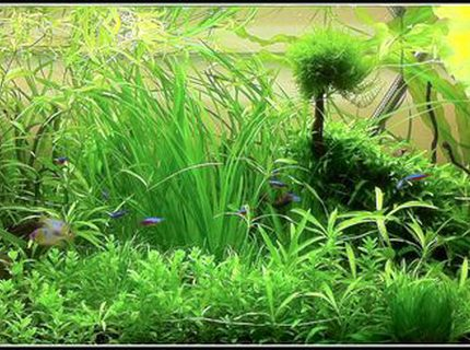 Rated #5: 70 Gallons Planted Tank - Juwel Rio 300 Blue Ram Garden