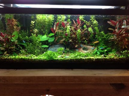 Rated #4: 20 Gallons Planted Tank - as of 3-25-2013