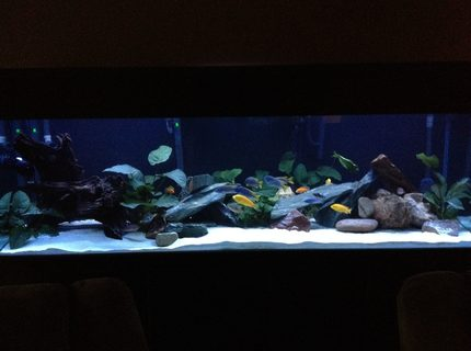 220 gallons planted tank (mostly live plants and fish) - planted cichlid tank