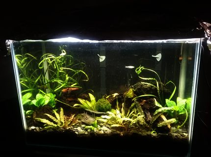 20 gallon low tech with ecocomplete substrate 3 bolivian rams and one German blue 7 Danis One pleco