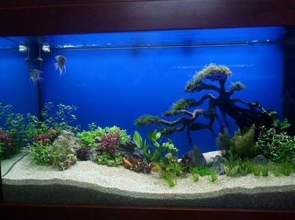 30 gallons planted tank (mostly live plants and fish) - This Tank Is Decorated Using Bonsai Driftwood