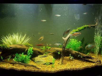 55 gallons planted tank (mostly live plants and fish) - 46 gallon bowfront community tank.
