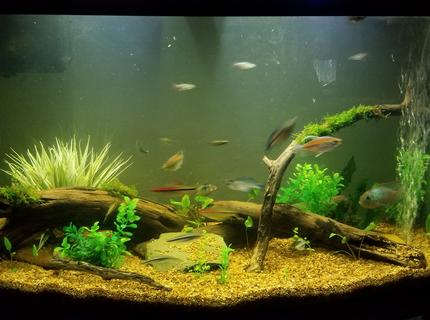 Rated #8: 55 Gallons Planted Tank - 46 gallon bowfront community tank.