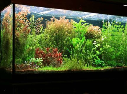 Rated #3: 75 Gallons Planted Tank - tank size 120 x 45 x 65 lighting 8 x 36 watt T8 Fluorescent filtration Eheim 2217 Plus CO2 pressure controlled by pH changes. Micro and macro elements(DIY) added 3 times weekly A routine of a 50% water change every week