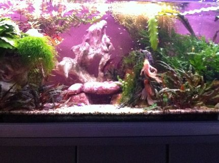 60 gallons planted tank (mostly live plants and fish) - My 4 ft Display and Breeding Bristlenose Aquarium