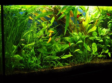 53 gallons planted tank (mostly live plants and fish) - 53 gallons