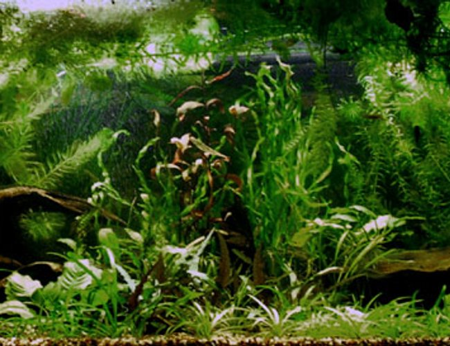 planted tank (mostly live plants and fish) - This is my first heavily planted tank...needs a trim.  Sorry about the low res, 75G is too blasted wide for close detail.  Yes, there are fish (grin), but blurred with movement.  For more pics, stop by my website.