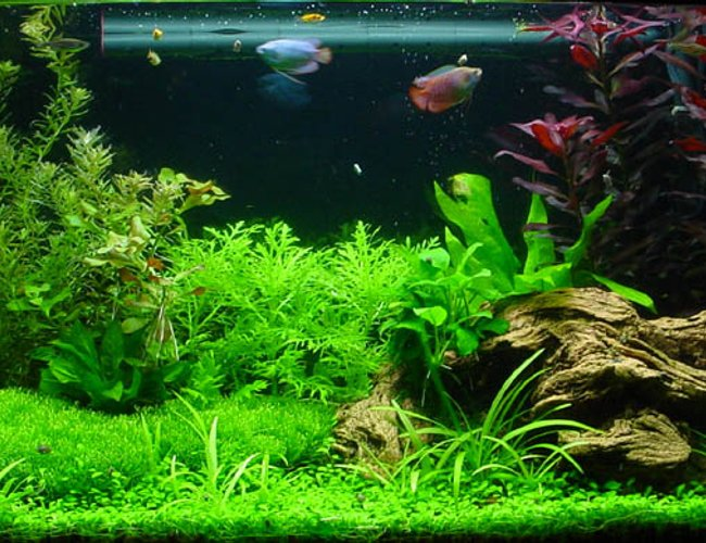 planted tank (mostly live plants and fish) - My first planted tank.
