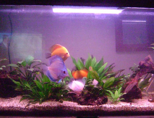 50 gallons planted tank (mostly live plants and fish) - my discus tank