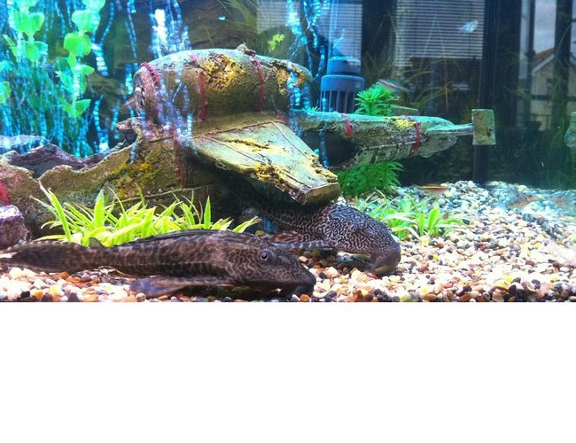 61 gallons planted tank (mostly live plants and fish) - 2 common plecos under plane crash