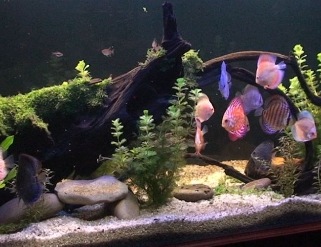 209 gallons planted tank (mostly live plants and fish) - Planted Discus Tank