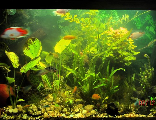 90 gallons planted tank (mostly live plants and fish) - updated with new plants