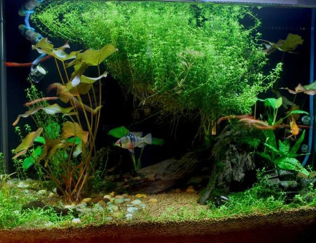 20 gallons planted tank (mostly live plants and fish) - Planted!