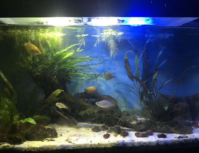 10 gallons planted tank (mostly live plants and fish) - Plants have grown and established themselves especially the narrow leaf java fern growing on top of the driftwood piece. Fish seem happy, the honey gouramis are displaying breeding behavior. Sorry I have no idea why the image came out darker than when I took it from my iPhone.
