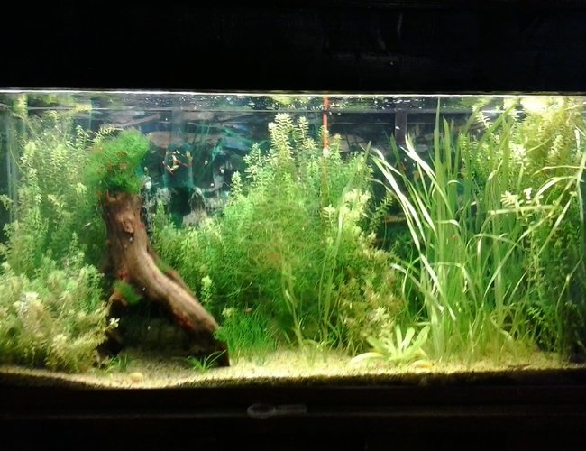 135 gallons planted tank (mostly live plants and fish) - My first planted tank. my first shrimp tank, and the first time my albino cories  had babies that survived.