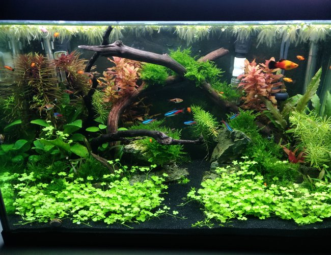 20 gallons planted tank (mostly live plants and fish) - 20G tank 12 weeks after build.