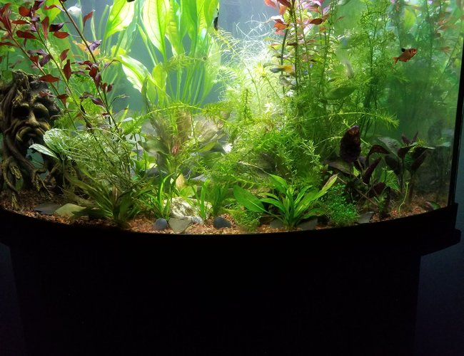 54 gallons planted tank (mostly live plants and fish) - My tank