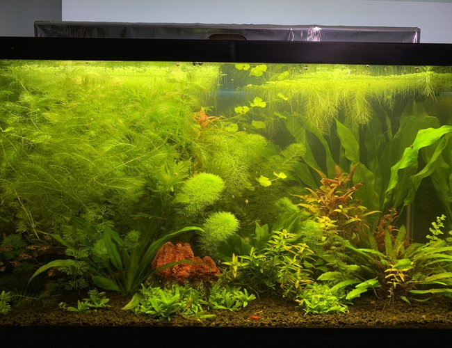 29 gallons planted tank (mostly live plants and fish) - Planted Tank