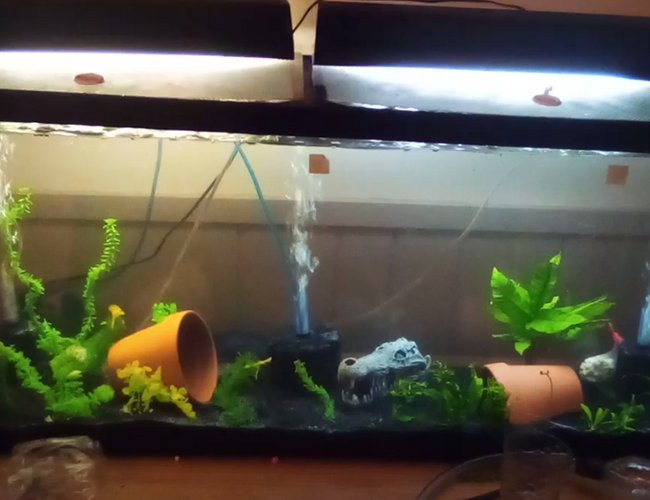 55 gallons planted tank (mostly live plants and fish) - my 55 gallon tank which is almost finished cycling