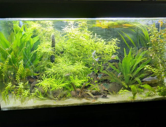 55 gallons planted tank (mostly live plants and fish) - Front view full lighting, due for a rescape