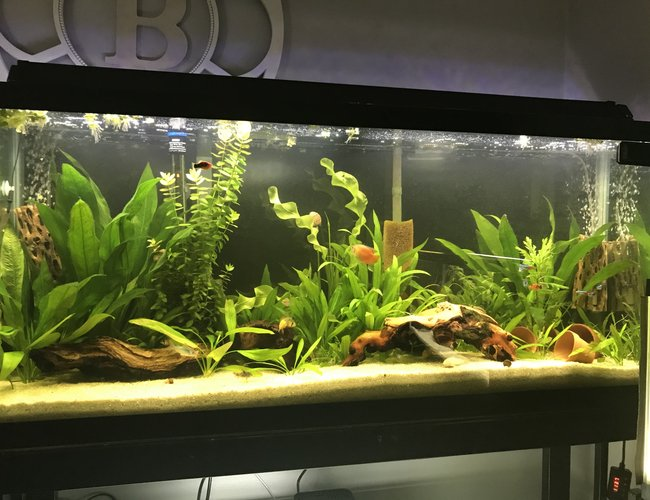 55 gallons planted tank (mostly live plants and fish) - 55 gal