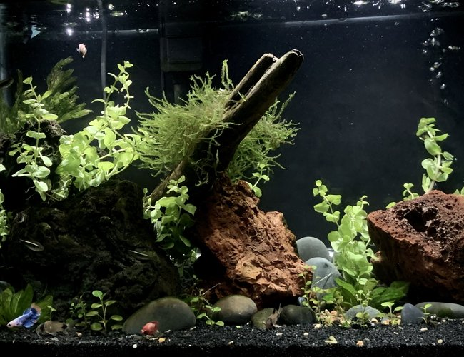 20 gallons planted tank (mostly live plants and fish) - 20 gallon high, Betta Sorority Community