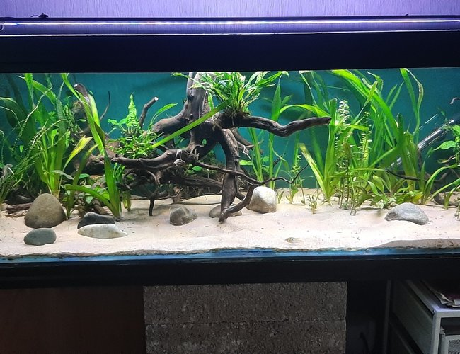 134 gallons planted tank (mostly live plants and fish) - Planted with low demanding plants, Redmoor roots and sand simple setup.