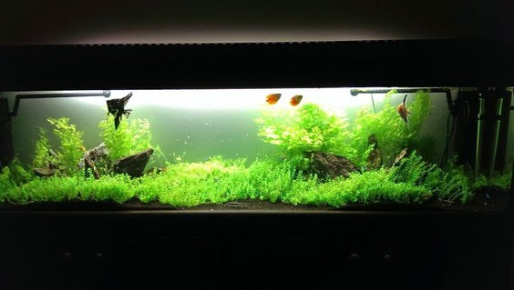 Rated #8: 75 Gallons Planted Tank - My 6ft low-tech planted tank