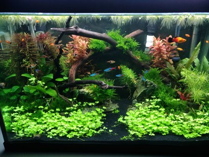 Rated #6: 20 Gallons Planted Tank - 20G tank 12 weeks after build.