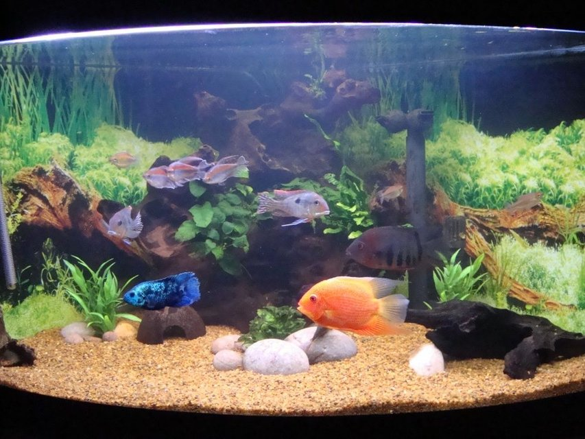 Rated #78: 92 Gallons Planted Tank - 92G SA/CA corner tank with bogwood, java fern, anubias and river pebbles.