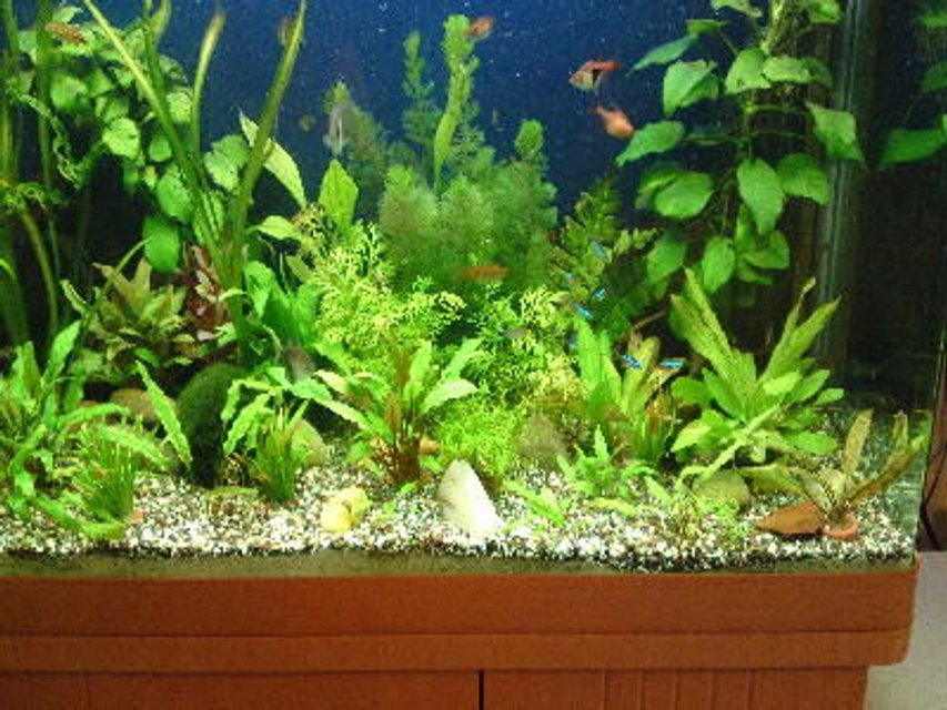 Rated #74: 55 Gallons Planted Tank - all growing well :)