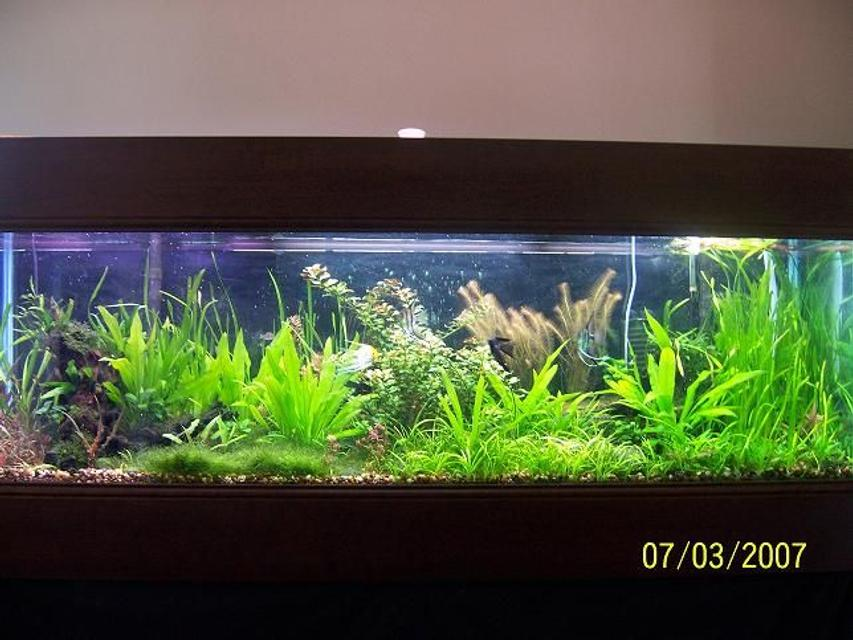 Rated #21: 125 Gallons Planted Tank - This is a three year old pic of my tank. I figured I'd throw it up here and see what you all think.... It's different now but... The angels used to breed all the time...