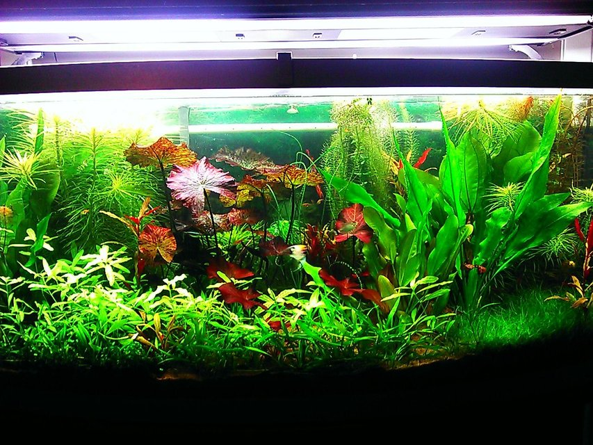 Rated #3: 72 Gallons Planted Tank - 72 gallon bow front planted aquarium
