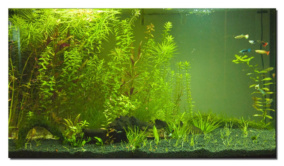 Rated #55: 400 Gallons Planted Tank - This is my guppie plant tank!