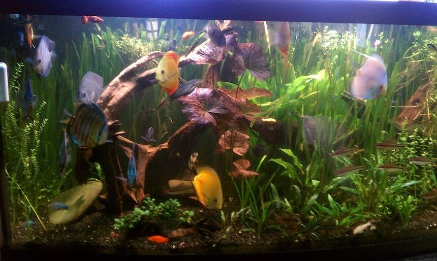 Rated #10: 155 Gallons Planted Tank - Planted Discuss