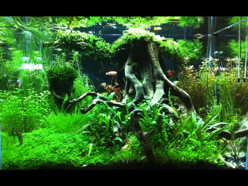 Rated #1: 31 Gallons Planted Tank - lawrence cheung 60X45X45cm tank