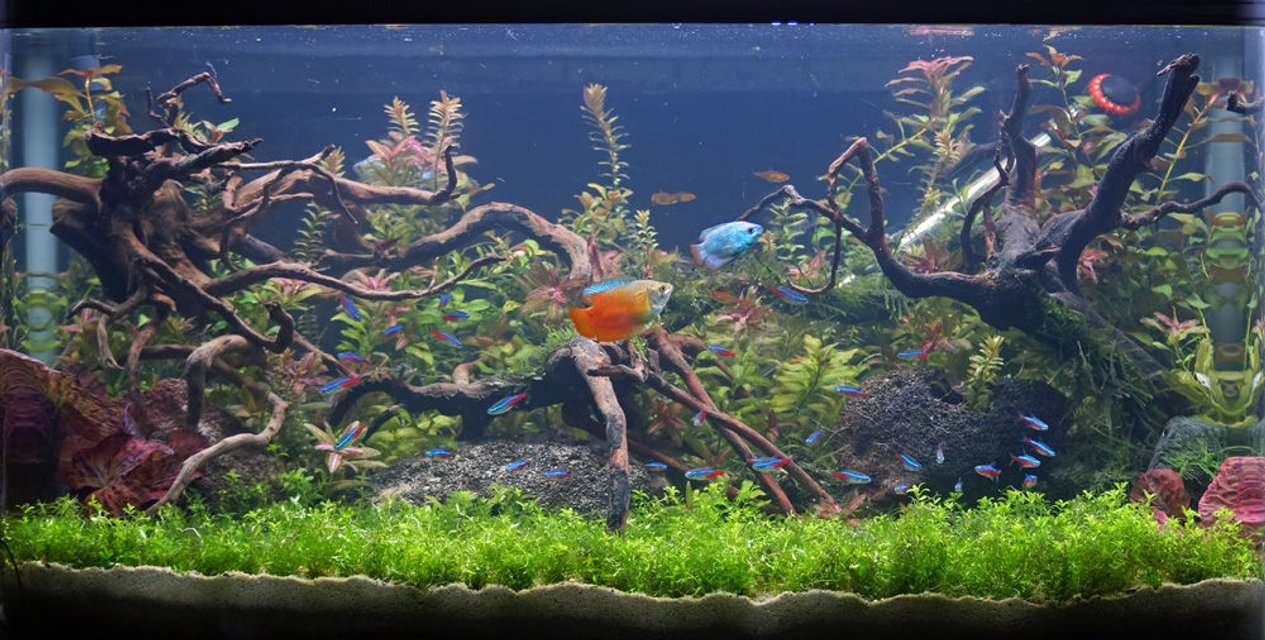 Rated #5: 34 Gallons Planted Tank - Newly scaped planted tank. 134litres/34gal