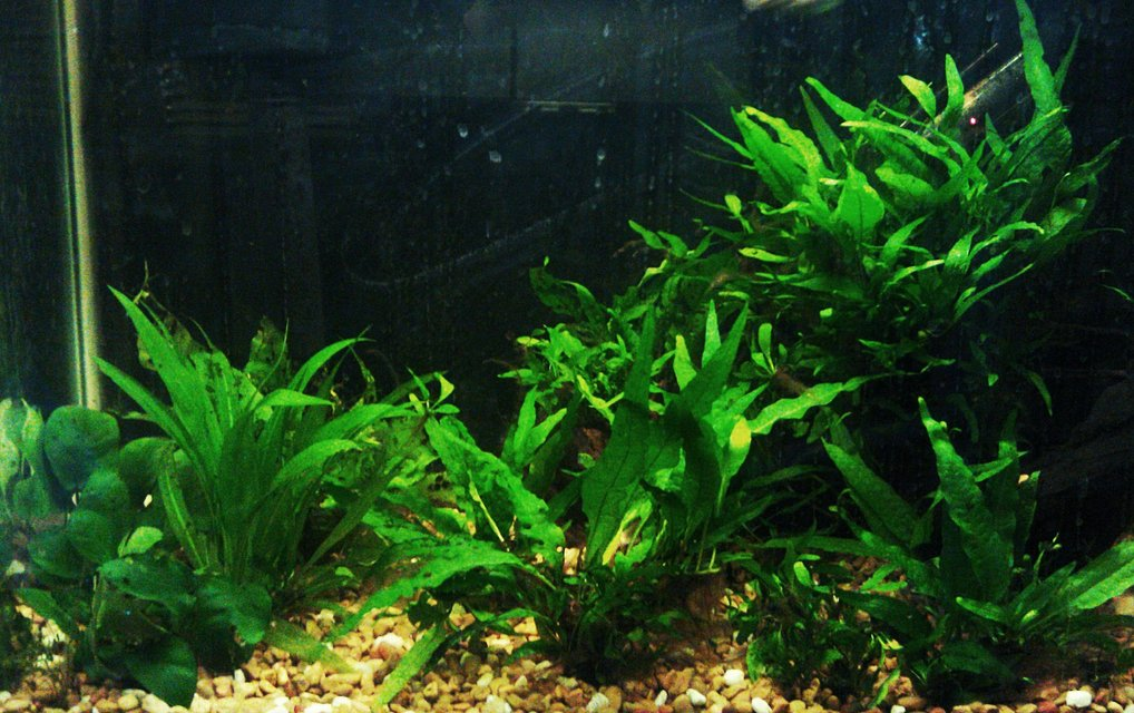 Rated #55: 20 Gallons Planted Tank - Java tank