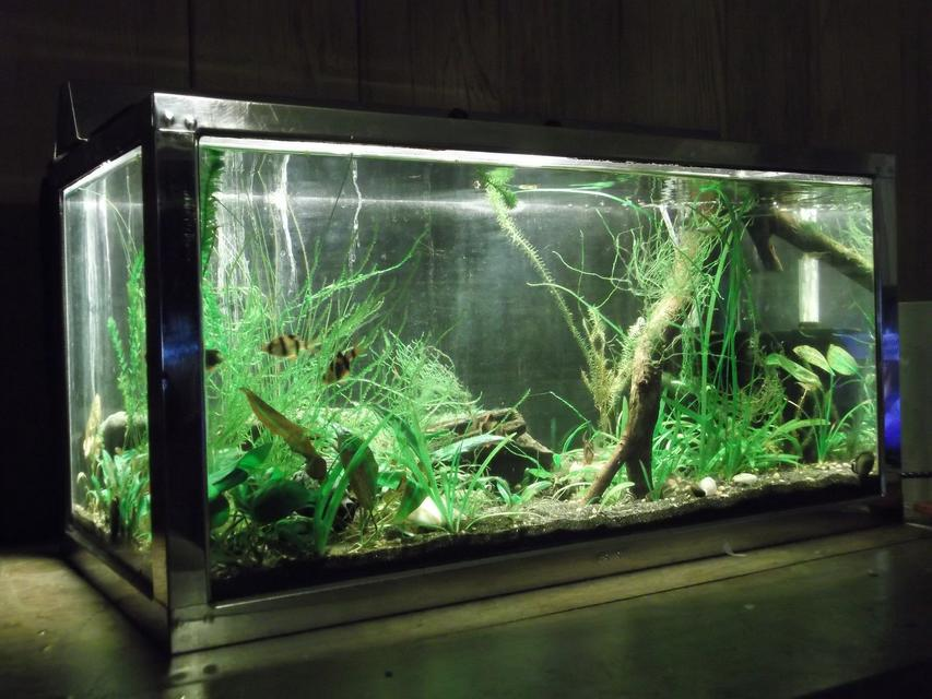 Rated #27: 15 Gallons Planted Tank - Pemco 15 Gallon Stainless steel frame tank with 9w CFL lighting in stainless hood, Black sand, Foam filter, and Ohia wood branch. Contains 5 tiger Barbs, one green tiger barb, two Normani Lampeyes, Pipiwai (Native Hawaiian freshwater opihi[limpets]) and a few random shrimp.