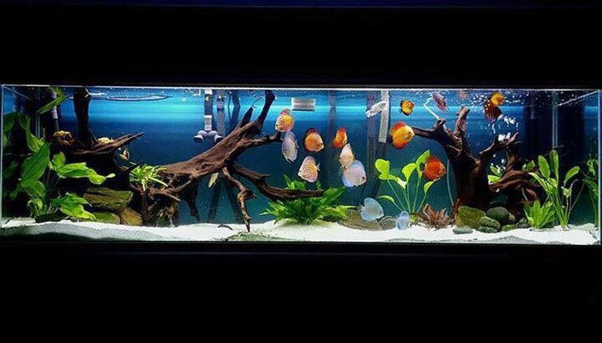 Rated #7: 125 Gallons Planted Tank - My 220 gallon tank with a variety of different strains of discus as well as a juvenile motoro stingray.