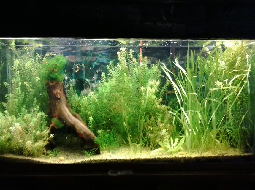 Rated #22: 135 Gallons Planted Tank - My first planted tank. my first shrimp tank, and the first time my albino cories  had babies that survived.
