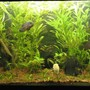 40 gallons planted tank (mostly live plants and fish) - Low tech Tank Dic.06