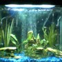 25 gallons planted tank (mostly live plants and fish) - PLEASE TELL ME WHAT YOU THINK!! PLEASE:) i don't have my digital camera so had to use my web cam sorry when i get me camera back ill post a new one... First tank 25 gallons 11 Tiger barbs 2 Rosy barbs 2 Sliver tipped tetras 1 Frog My most liked fish 2 Rainbow Sharks and 1 Angel fish