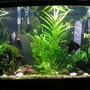 46 gallons planted tank (mostly live plants and fish) - My planted tank for my angelfish to meet a mate.