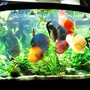 96 gallons planted tank (mostly live plants and fish) - Planted Discus Tank 96 gallons