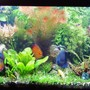 75 gallons planted tank (mostly live plants and fish) - A full view of my 75 gal discus planted tank