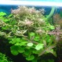125 gallons planted tank (mostly live plants and fish) - Hydrocotyle Leucocephala&Rotala Rotundifolia