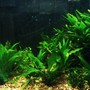 20 gallons planted tank (mostly live plants and fish) - Java tank